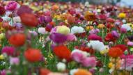 flower fields, carlsbad