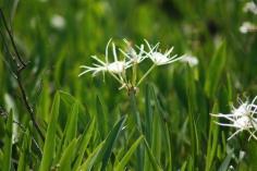 Wild Swamp Spider Lilies