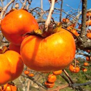 If you want to try a sweet persimmon you will need to find the Fuyu tomato shape variety and make sure they are very ripe