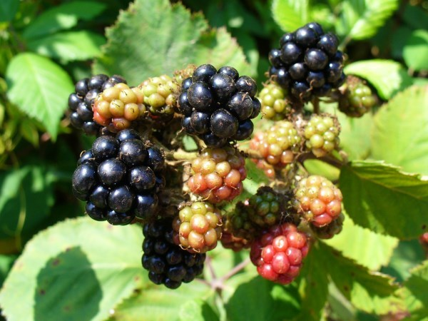 Blackberries.. can't get fresh than this