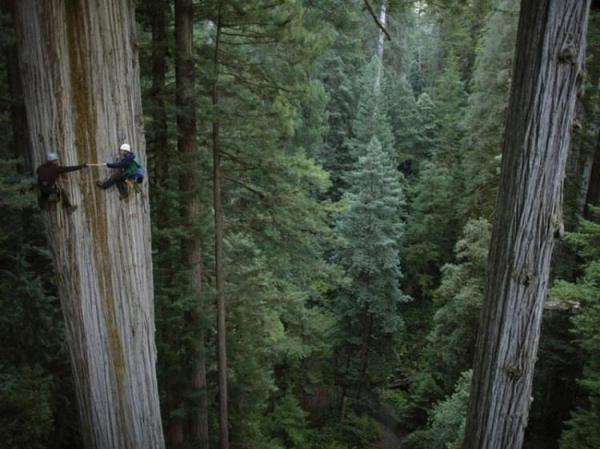 Climbing Redwood trees
