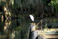 Snowy Egret fishing for lunch